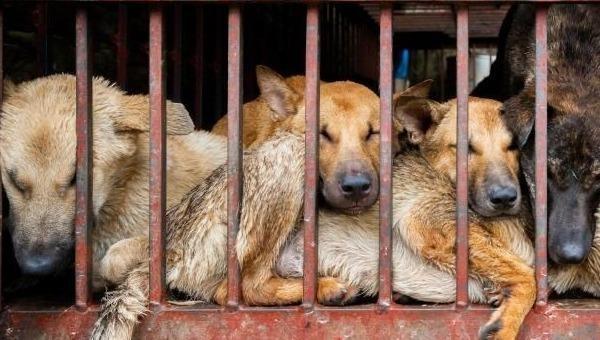 Lễ hội thịt chó diễn ra ở Trung Quốc bất chấp quy định mới về bảo vệ chó