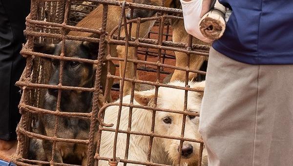 Campuchia đóng cửa một lò mổ lớn, tiến tới cấm ăn thịt chó