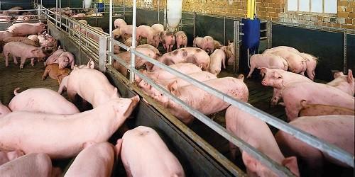 Việc sử dụng chất cấm trong chăn nuôi heo có dấu hiệu bùng phát. Ảnh: www.vietpress.vn.