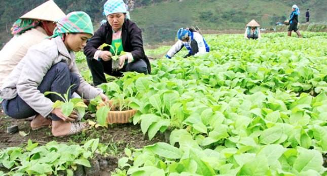 Vùng nguyên liệu thuốc lá tại Lào Cai