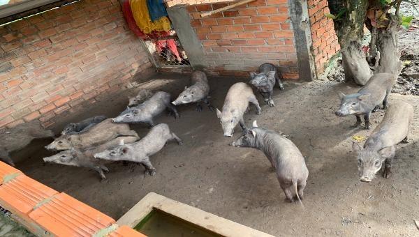 Một đàn heo rừng nuôi tại phường 8, TP Bạc Liêu bị mắc bệnh dịch tả heo châu Phi