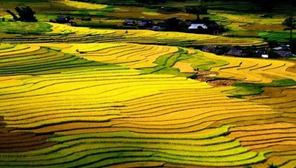 Mùa vàng trên đỉnh Sapa