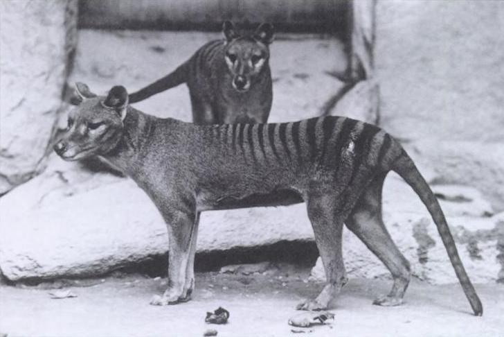 Nghi vấn loài chó sói túi được công bố tuyệt chủng vẫn còn lởn vởn trên trái đất? (Kỳ 1)