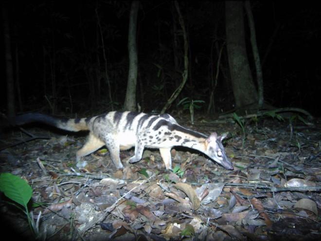 Cầy vằn quý hiếm có trong rừng Kon Plông.