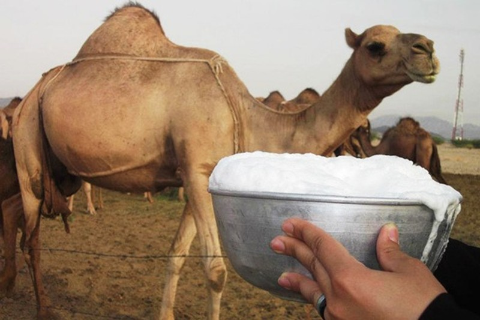 """Sữa lạc đà -Món """"vàng trắng"""" trên sa mạc"""