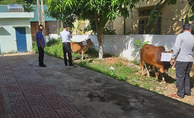 Cơ quan chức năng lấy mẫu giám định AND con bò đang tranh chấp giữa ông M. và ông P. (Ảnh Võ Trọng Thắng).