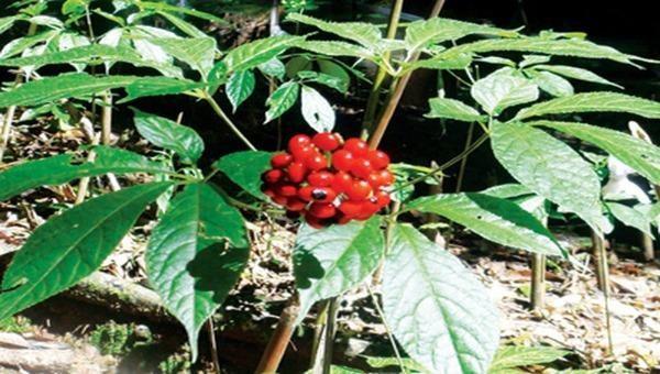 Rất nhiều cây sâm đến mùa thu hoạch hạt giống đã bị chuột tàn phá, ăn những hạt sâm Ngọc Linh bổ quý gây thiệt hại tiền tỉ.