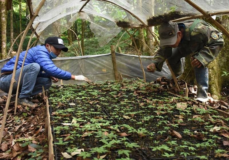 Người dân liên kết, mở rộng diện tích trồng sâm Ngọc Linh.