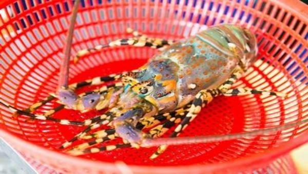Tôm hùm bông được bảo hộ chỉ dẫn địa lý Phú Yên.