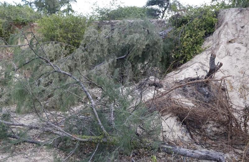Rừng dương bị ngã đổ do các đối tượng khai thác cát trái phép.