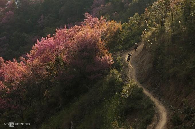 Đào rừng (ảnh internet).