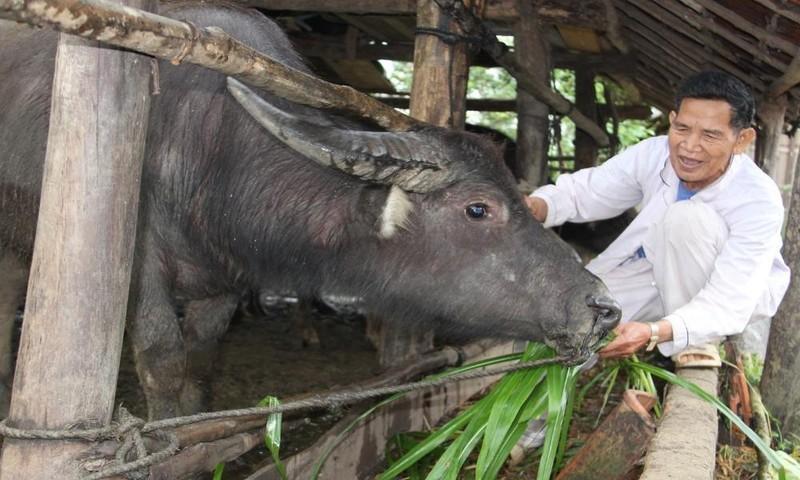 Tết năm Sửu, thăm làng nuôi trâu ở đất võ Bình Định