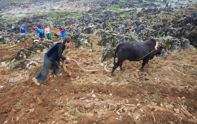 Bà con các dân tộc tỉnh Hà Giang canh tác trên những mảnh nương lởm chởm đá tai mèo.