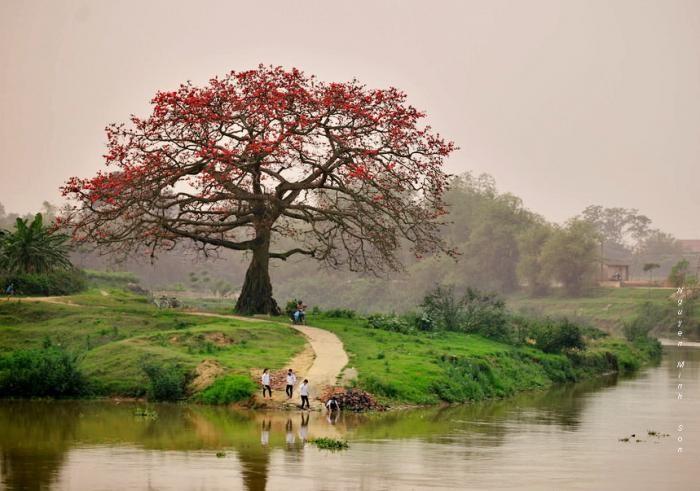 Mùa hoa gạo ở ngã ba Xà (ảnh Nguyễn Minh Sơn).