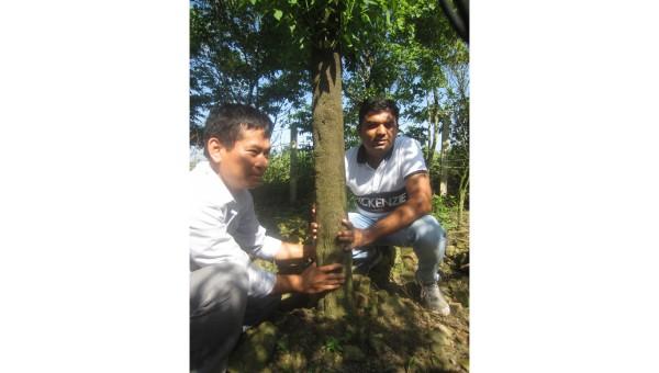 """Giải mã cây """"vàng xanh"""" trong văn hóa ở Ấn Độ"""