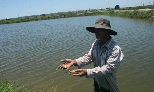 Cua nuôi xen ghép với tôm chết hàng loạt vì nước bị ô nhiễm