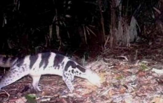 Hình ảnh con Cầy giông sọc được cho là bị tuyệt chủng ở Việt Nam và Trung Quốc vừa được phát hiện qua bẫy ảnh tại khu BTTN Phong Điền (Huế)