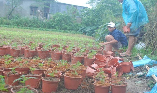 Hai cha con ông Tân trồng lại vườn hoa bị gãy đổ còn sót lại sau lụt.
