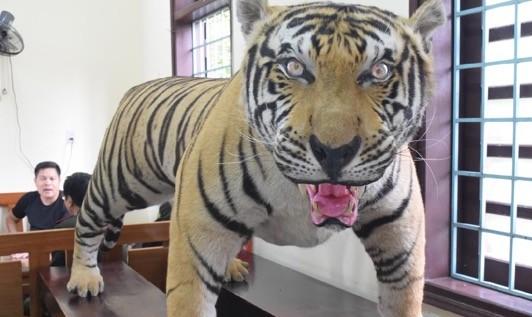 Huế: Phát hiện bộ da hổ nhồi bông trái phép