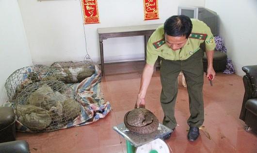 Lực lượng chức năng kiểm tra các cá thể tê tê thu giữ