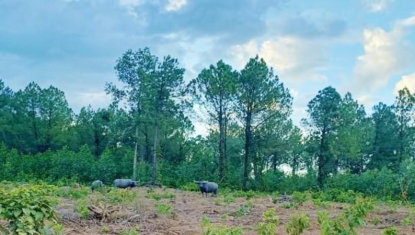 Xuất hiện đàn trâu hoang húc rượt người đi rừng, dẫm phá cây trồng