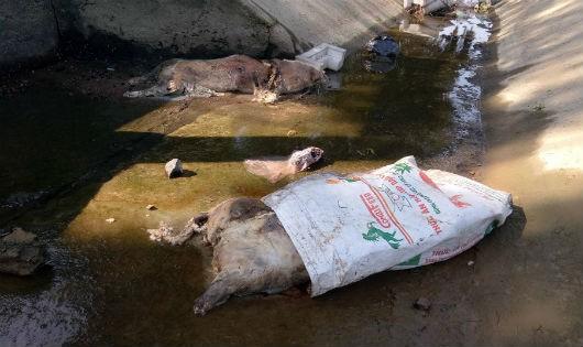 Xác lợn chết trôi dạt đầy kênh