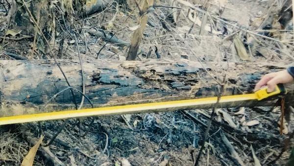Nhiều cây keo có giá trị bị chết cháy hoàn toàn