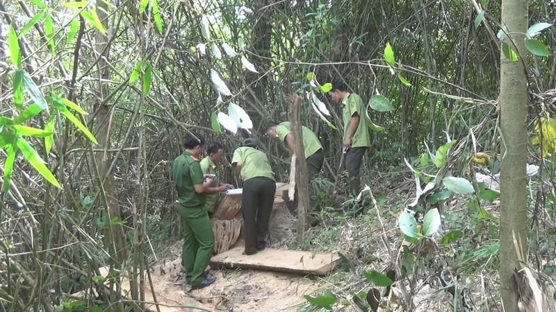 7 đối tượng dùng trâu tàn phá rừng đặc dụng Nam Ka