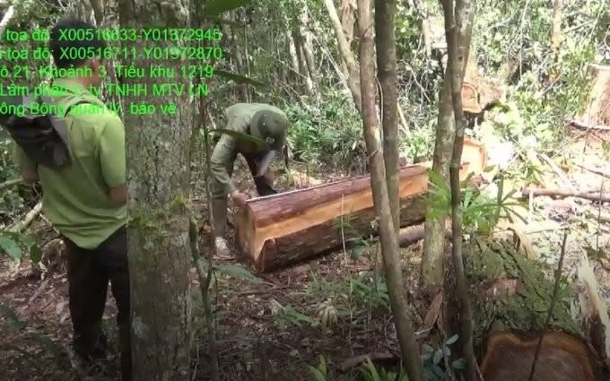 Rừng Pơ mu hàng trăm năm tuổi lại bị tàn phá
