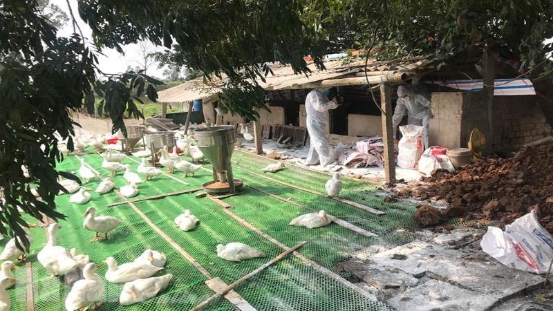 Xuất hiện ổ dịch cúm gia cầm H5N6 tại xã Trần Hưng Đạo, Hà Nam