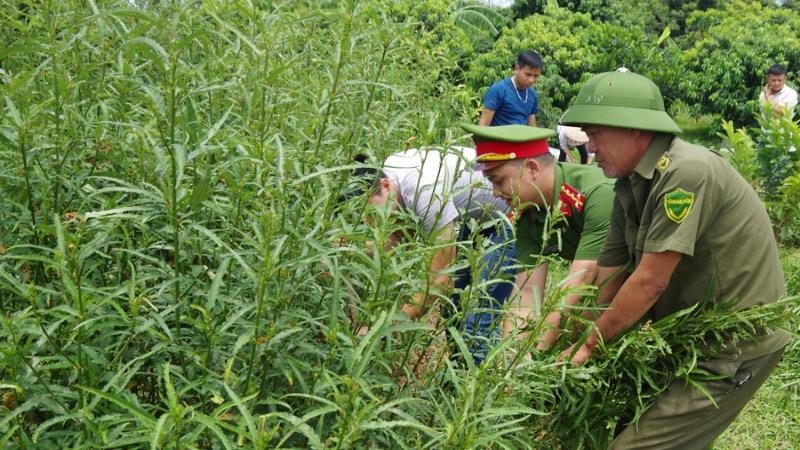 Phát hiện một hộ dân trồng số lượng lớn cây cần sa tại Hà Nam