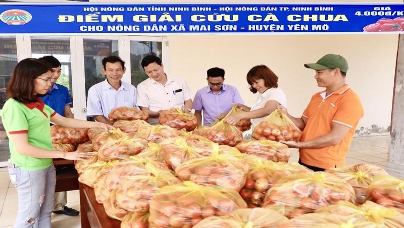 Ninh Bình phát động giải cứu tiêu thụ cà chua cho nông dân xã Mai Sơn.
