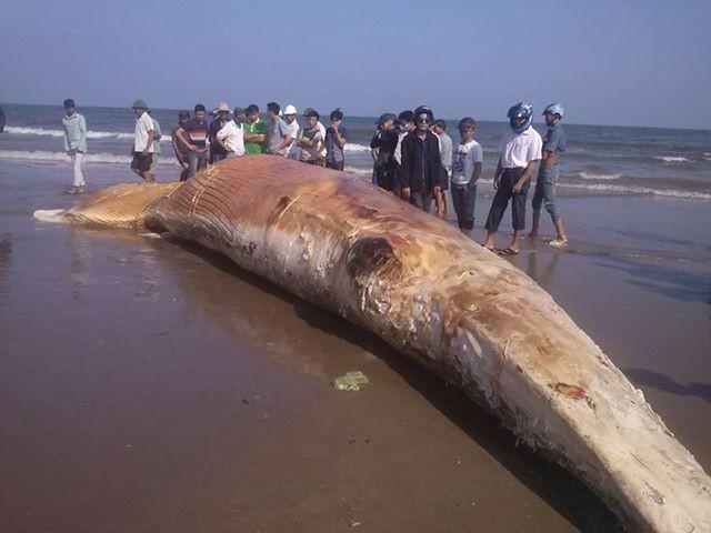 Cá voi dài trên 10m dạt vào bờ biển Thanh Hóa