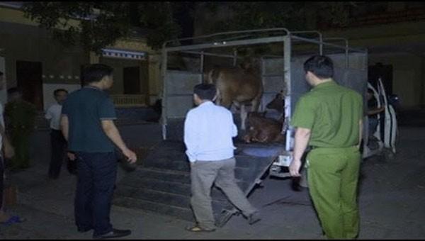 Lợi dụng đêm tối vận chuyển bò bị mắc bệnh viêm da nổi cục đi tiêu thụ.