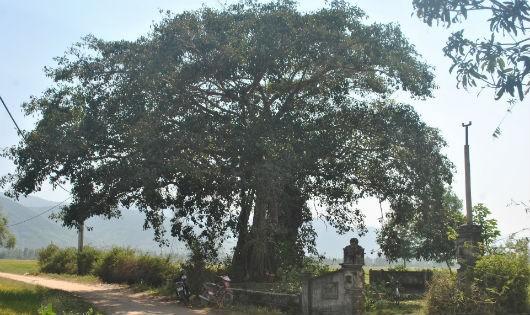"""Cây đa """"thần"""" ở đầu thôn Phú Hiệp"""