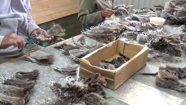 Lông đà điểu sẽ được dùng trong những bộ cánh xa hoa đẳng cấp.