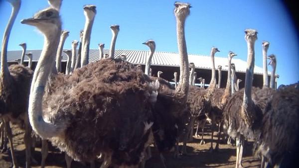 Hàng trăm con đà điểu được nuôi trong trang trại bị đưa vào lò mổ mỗi ngày.