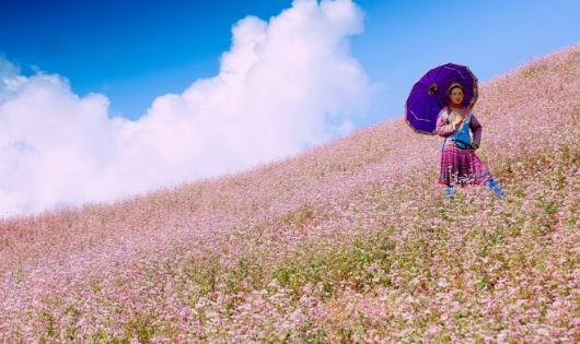 Hoa tam giác mạch sẽ khoe sắc tại Hồ Hoàn Kiếm