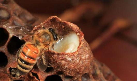 Làm sao phân biệt sữa ong chúa giả và thật ?