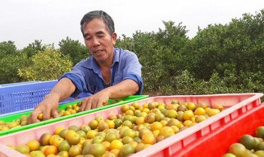 Ông Đoàn Văn Hoa và sản phẩm quất sạch tại vườn nhà