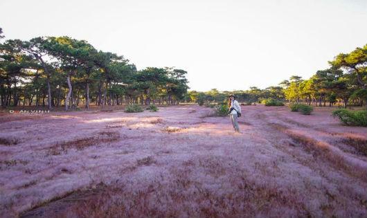 Sau Đà Lạt, đồi cỏ hồng ở Gia Lai cũng đang gây sốt