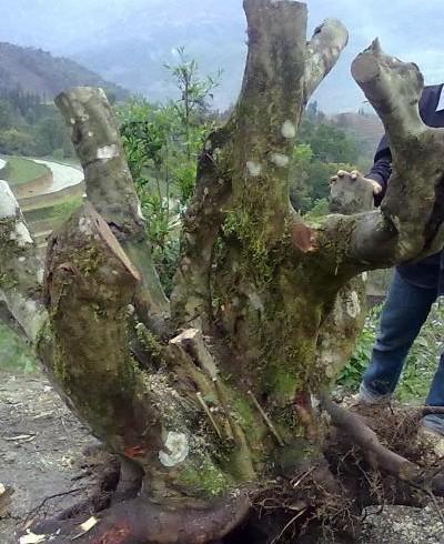 Gốc đào rừng mà anh Quang mua về chơi tết