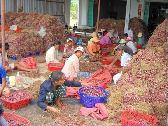 HTX Hành tím Vĩnh Châu đã góp phần giải quyết công ăn việc làm cho nhiều hộ dân ở địa phương