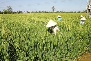 Nhân công địa phương được thuê chăm sóc diện tích lúa lai của người Trung Quốc