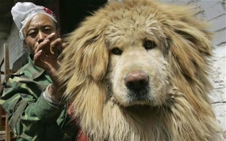 Một con chó Tây Tạng. Ảnh: Telegraph