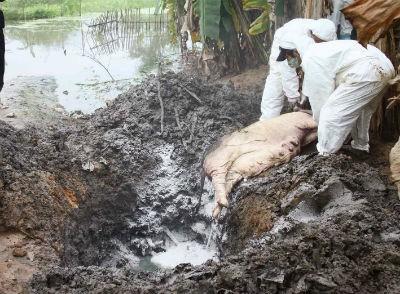 Tiêu hủy lợn chết do dịch bệnh ở Quảng Trị. Ảnh: TTXVN