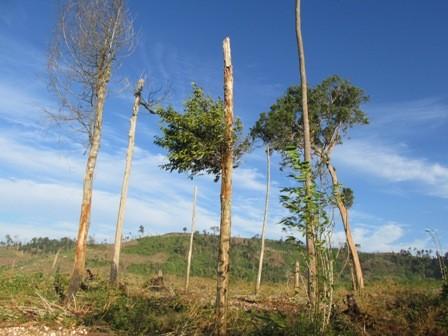 Vài cây gỗ tạp còn sót lại Tại Tiểu khu 1528.