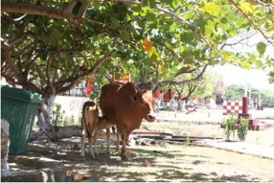 Ở đấy cũng có đàn bò dăm bảy con, trong ảnh một mẹ con nhà bò bình yên tránh nắng