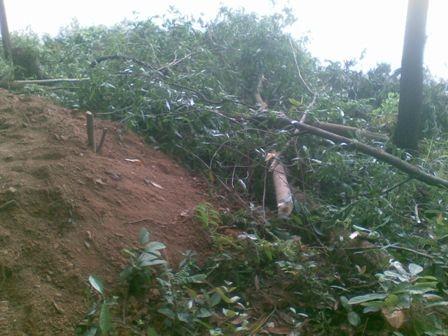 Những cây thông dầu rừng phòng hộ Phú Ninh bị đốn hạ.