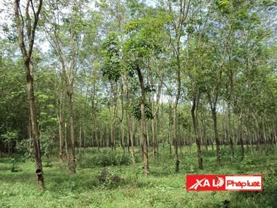 Số cây cao su theo luật dân sự lẽ ra vẫn thuộc quyền sở hữu của ông Dung